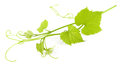 Grape leaves isolated Royalty Free Stock Photo