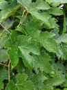 Grape Leaves After A Summer Rain Royalty Free Stock Photo