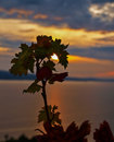 Grape leaves at sunset in a beautiful dramatic and the sea surface in the distance vertical color photo Stock Photo
