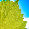Grape leaves texture leaf background macro green light closeup Royalty Free Stock Photo