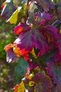 Fall Grape Leaves Royalty Free Stock Photo