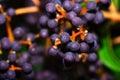 Violet Grape Macro