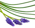 Grape muscari hyacinth flower Royalty Free Stock Photo