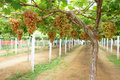 Grape orchard the scenery of Royalty Free Stock Image
