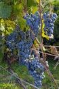 Grape Othello Royalty Free Stock Photo