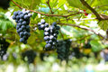 Grape Platation Royalty Free Stock Photo