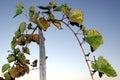 Grape stalks Royalty Free Stock Photo