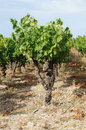 Grape trees Royalty Free Stock Photo