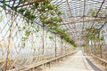 Grape trellis the close up of Royalty Free Stock Photography