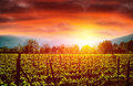 Grape valley in sunset bright orange light agricultural landscape autumn nature vineyard grapevine industry viticulture wine Royalty Free Stock Photography