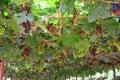 The grape varieties black opal