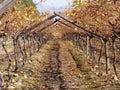 Through the grape vine Royalty Free Stock Photos