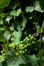 Grape Vine Royalty Free Stock Images