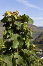 Grape Vine in the autumn Sun Stock Photo