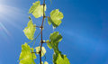 Grape vine growing against blue sky and sun flare high in sky Royalty Free Stock Photo