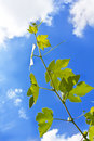 Grape vine leaf over cloudy sky Stock Photography