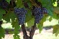 Grape Vine Merge Royalty Free Stock Photo