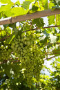 Grape vine on samos in greece Stock Images