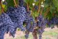 Lush Farm Grapevine Harvest Ready Vineyard Grapes Royalty Free Stock Photo