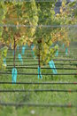 Grape vines Royalty Free Stock Photos