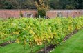 Grape vines growing in english walled garden Royalty Free Stock Photo