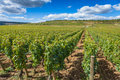 Grape vines, lush green on a bright sunny day Royalty Free Stock Photo