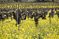 Grape Vines and Mustard Flowers, Napa Valley Stock Photos
