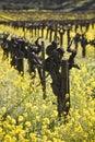 Uva viña y mostaza flores valle