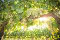 Grape Vines Plants with Intense Green Grape Royalty Free Stock Photo