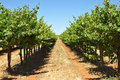 Grape vines in a row Royalty Free Stock Photo
