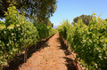 Grape vines, Santa Barbara County Royalty Free Stock Image