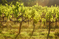 Grape vines, Stellenbosch, South Africa Royalty Free Stock Photos