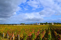 Grape vines vineyard fall burgundy colours changing Royalty Free Stock Image