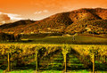 Grape Vines in Vineyard at Sunset Stock Image
