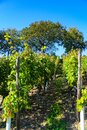 Riesling grapevines on Lohrberg hill in Frankfurt, Germany Royalty Free Stock Photo
