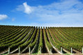 Grape vines at winery Royalty Free Stock Photo