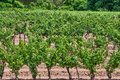 Grape Vineyard Stock Photography
