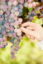 Grape in a vineyard Royalty Free Stock Photo
