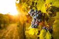 Grape in the vineyard bunch of grapes with sun background shallow deep of field Stock Image