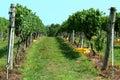 Grape vinyard row Royalty Free Stock Photo