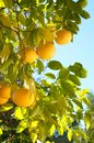 Grapefruit Growing Organic in Southern California Back Yard in Winter Time with Sunny Day, Blue Sky Background with room or space Royalty Free Stock Photo