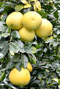 Grapefruit harvest on trees tree shown as agriculture concept or raw fresh and healthy fruit Stock Photos
