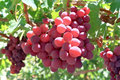 Grapes Royalty Free Stock Photos