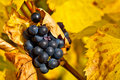 Grapes In Autumn