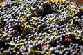 Grapes barossa valley wine region Royalty Free Stock Image