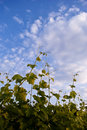 Grapes and the blue sky Royalty Free Stock Photography