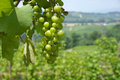 Grapes cluster of green on a vineyard in italy Stock Images