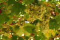 Grapes cluster yellow ripe clusters growing on vineyard Royalty Free Stock Images