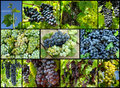Grapes collage Royalty Free Stock Image