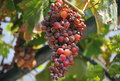 Grapes in corfu the light of summer greece Stock Image